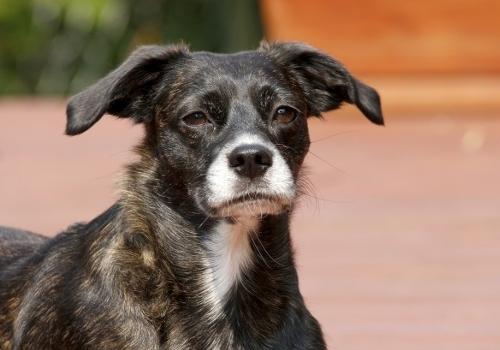 Black Mogrel Dog